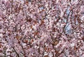 fast growing flowering cherry trees home guides sf gate