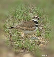 South Carolina birds images Sc south carolina bird pictures page ground birds jpg