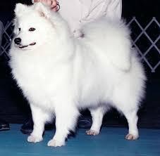 american eskimo dog ireland american eskimo dog breeders wachusett american eskimos aiyana