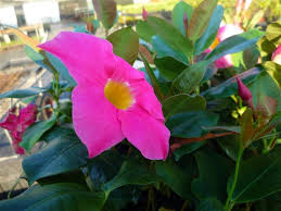 28 climbing plants that flower all year 2 dipladenia aloha red