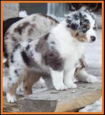 8 week australian shepherd ghost eye mini aussie avail litter 2 pup1 jessie blue merlei male