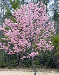 Flowering Cherry Shrub - kwanzan cherry tree kwanzan flowering cherry willis orchards