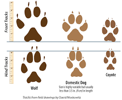 signs of wolves wildlife outreach