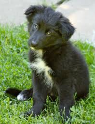 bearded collie and border collie mix black german shepherd border collie mix google search puppy