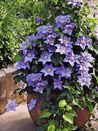 kletterpflanzen fã r balkon clematis andromeda clematis clematis garden trees