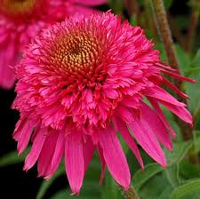 Echinacea Flower Echinacea U0027secret Affair U0027 Coneflower