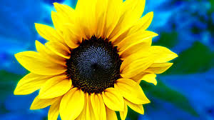 sunflower tag wallpapers petal yellow sunflower flower wallpaper
