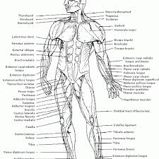 muscle coloring pages anatomy coloring book chapter 10 blood answers answers ace