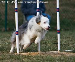 australian shepherd agility 1413 best aussies and agility images on pinterest aussies