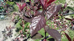 identification what is this red shrub in my garden gardening