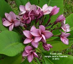 Plumerias Purple Jack Jungle Jacks Plumeria Tropical Flowers San Diego