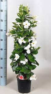 Tropical Climbing Plant - tropical houseplant evergreen mandevilla striking large white