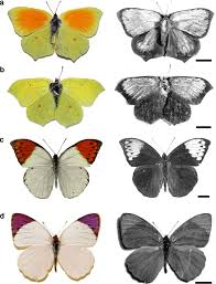 photographs of the sides of the wings of four pierid