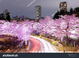 cherry blossom tree romantic scenery illuminated cherry blossom trees stock photo