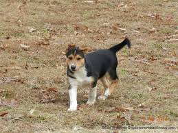 Black And Tan Beagles Nature U0027s Way Carolina Dogs Now Available Puppies