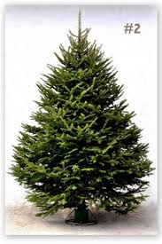 balsam fir christmas trees grown in the christmas tree capital of