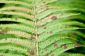 Rust Disease On Plants - rusty fern leaves u2013 why is there rust on back of fern fronds