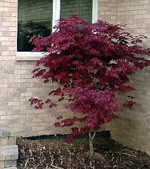 japanese maple burgundy lace garden plant evergreen trees