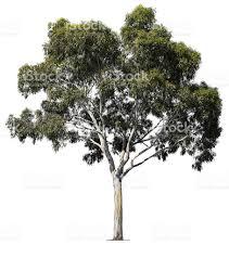 eucalyptus tree stock photo 182666087 istock