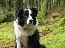 belgian shepherd or border collie 20 best medium sized dogs you have to own training dogs 101 com