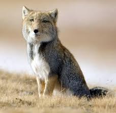 Taxidermy Fox Meme - the tibetan fox looks like a bad taxidermy job meme guy