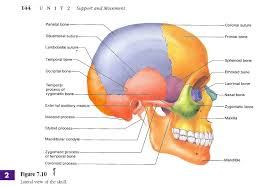 Human Anatomy Skull Bones Diagram Of The Skull Bones Human Skull Bones Diagram Anatomy 17