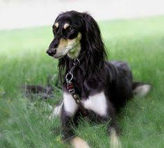 afghan hound puppies youtube afghan hound puppies bing images ancient afghan hound