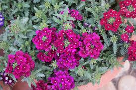 verbena hybrida rosa perennial ornamental trailing plant