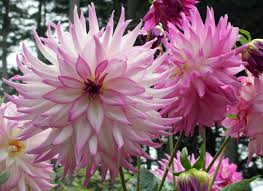 Brighter Pink Flowers So Large They U0027re Called U201cdinner Plate U201d Dahlias Brighter