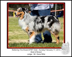 australian shepherd in california dogbreedz photo keywords australian shepherd