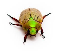 zoology australia a christmas beetle it never really feels