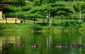 drug lord u0027s pet hippos roam colombian village