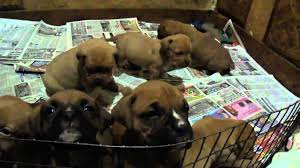 mastiff x boxer dog 4 week old boxer and french mastiff dogue de bordeaux pups