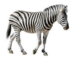 imagenes en negras cebras blancas con rayas negras o negras con rayas blancas vix