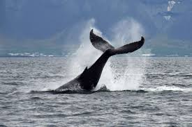 Whale by Whale Watching Tour From Reykjavík Iceland Arctic Adventures