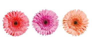 gerbera colors three gerbera flowers of pink colors isolated on white background