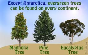 types of evergreen trees that will leave you struck