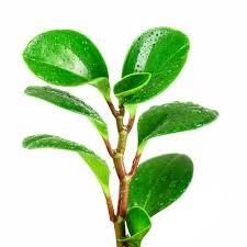 rubber tree plant pet poison helpline