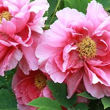 Garden Tree Types - peony care tree herbaceous intersectional