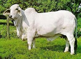 Backyard Cattle Raising Cattle Raising In Philippines Hubpages