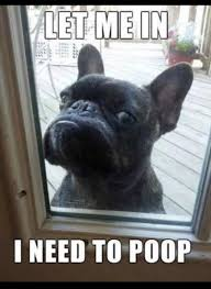 French Bulldog Meme - 9 funniest french bulldog memes funny french bulldogs french