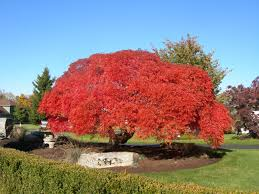 Ornamental Maple Tree Japanese Maple Trees Cost Bbqpr