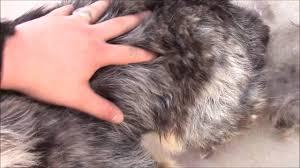 shedding an australian shepherd texas heeler porshè spring shedding youtube