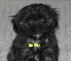 shi poo shih poo shih tzu miniature or toy poodle dogable