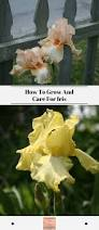 how to grow and care for iris exotic gardening