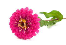 zinnia flower zinnia flower on a white background stock photo colourbox