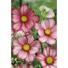 buy cosmos flowers the rare chocolate cosmos and much more