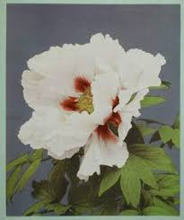 Japanese Flowers Pictures - photo dated 1896 japanese chrysanthemums from ogawa u0027s series