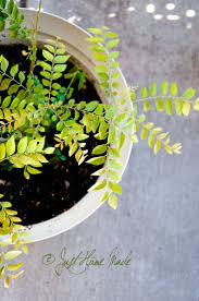 ilm walled garden 42 best curry leaf plant images on pinterest curry leaves