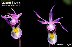 Flower Orchid Fairy Slipper Orchid Videos Photos And Facts Calypso Bulbosa